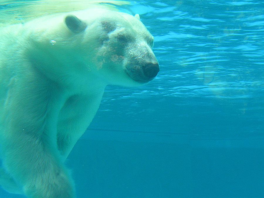orso polare estinzione