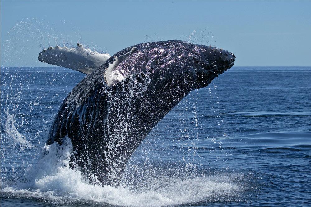 balena groenlandia