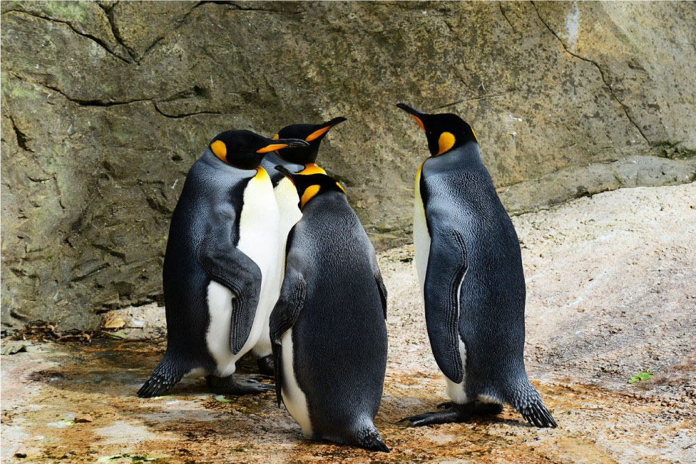 pinguini polo nord