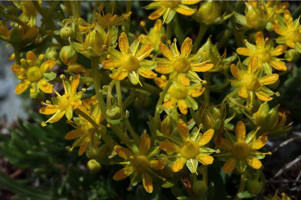 Sassifraga gialla di montagna
