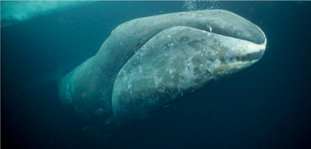 balena franca della groenlandia