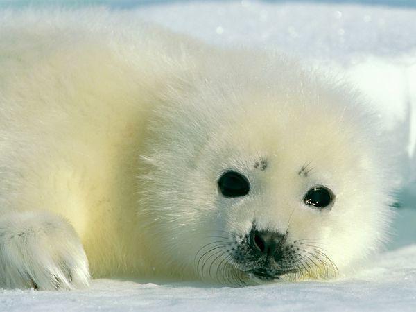 cucciolo di foca artica