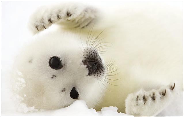 foca artica