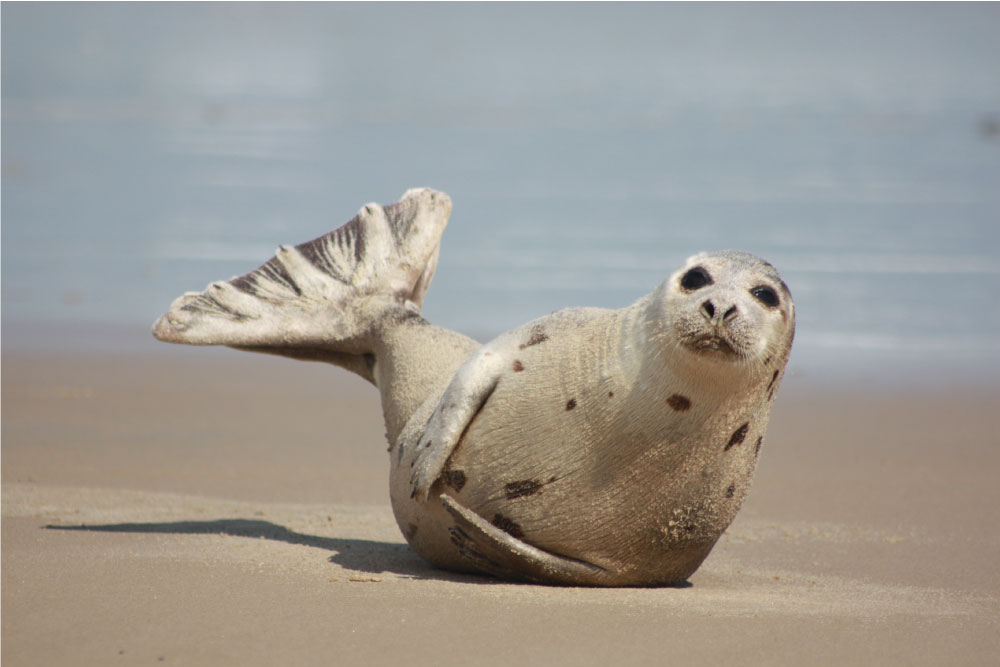 foche artiche