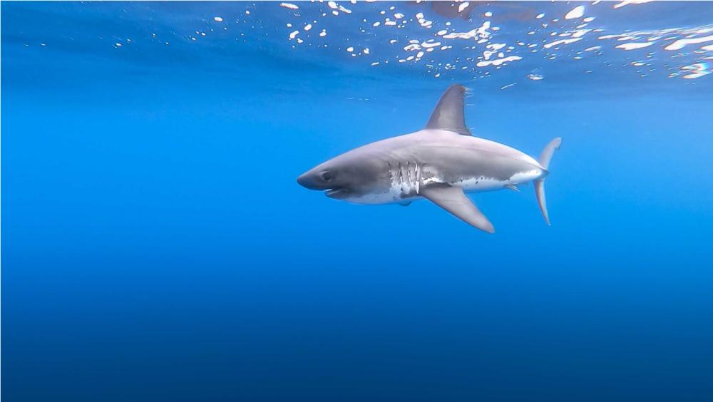 squalo artico