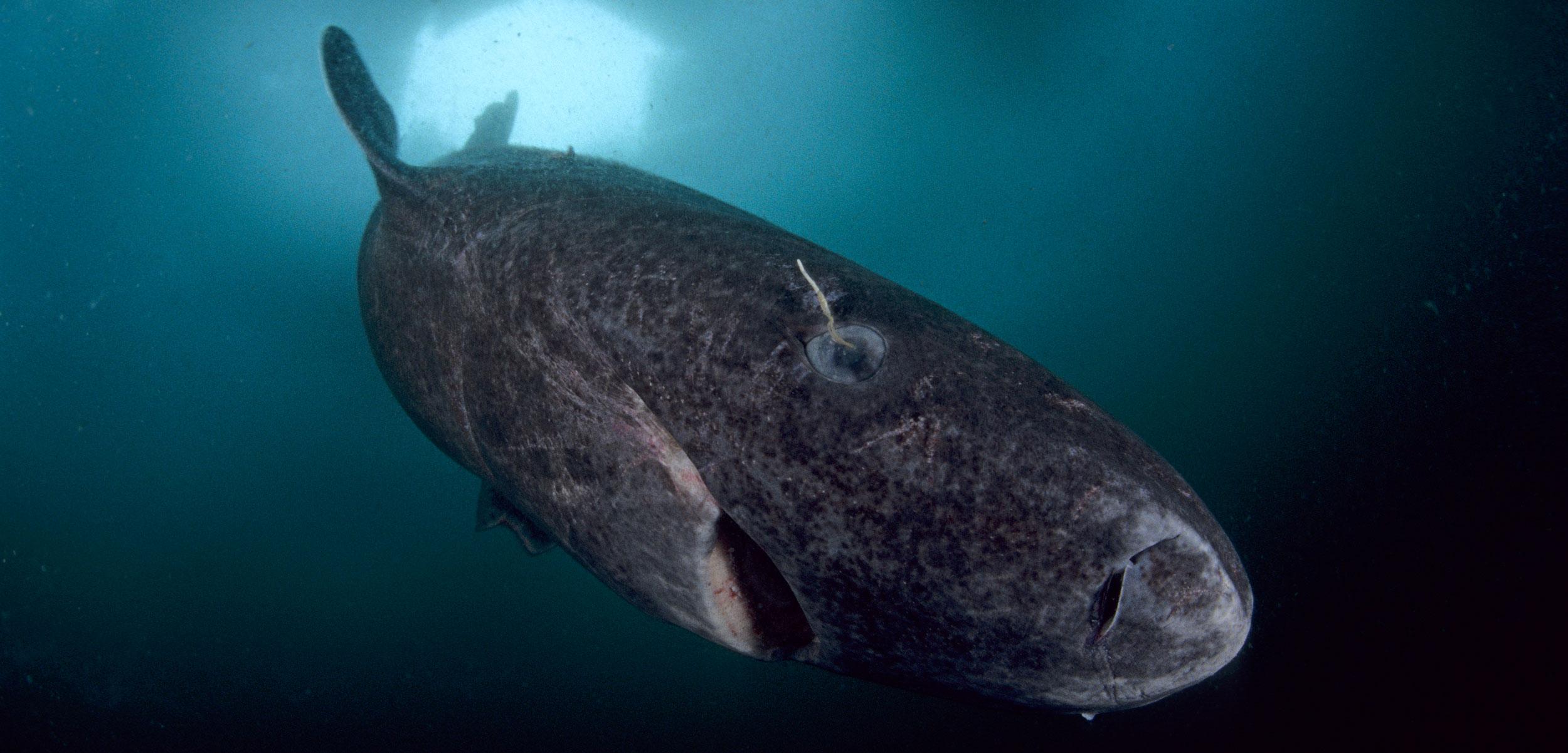 squalo della groenlandia