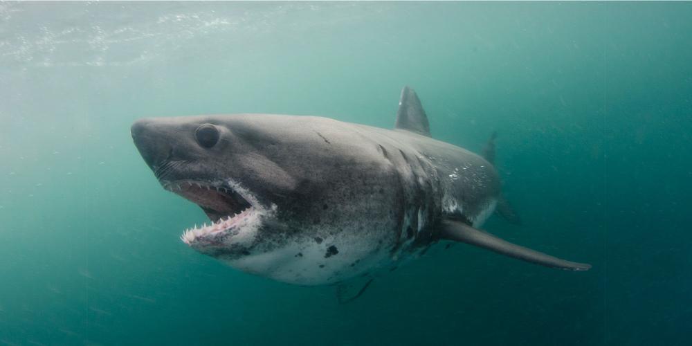 squalo salmone pacifico