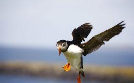 uccelli artici