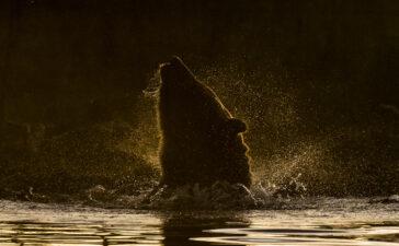 orso russia