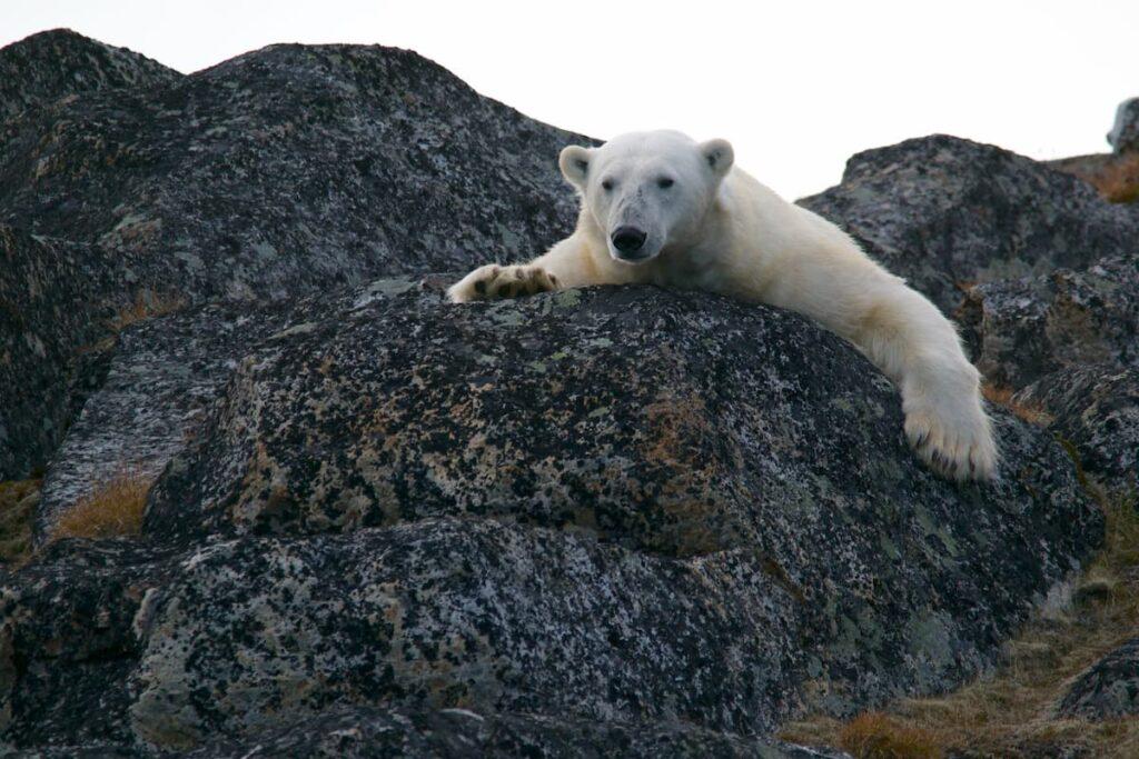 orsi polari alle svalbard