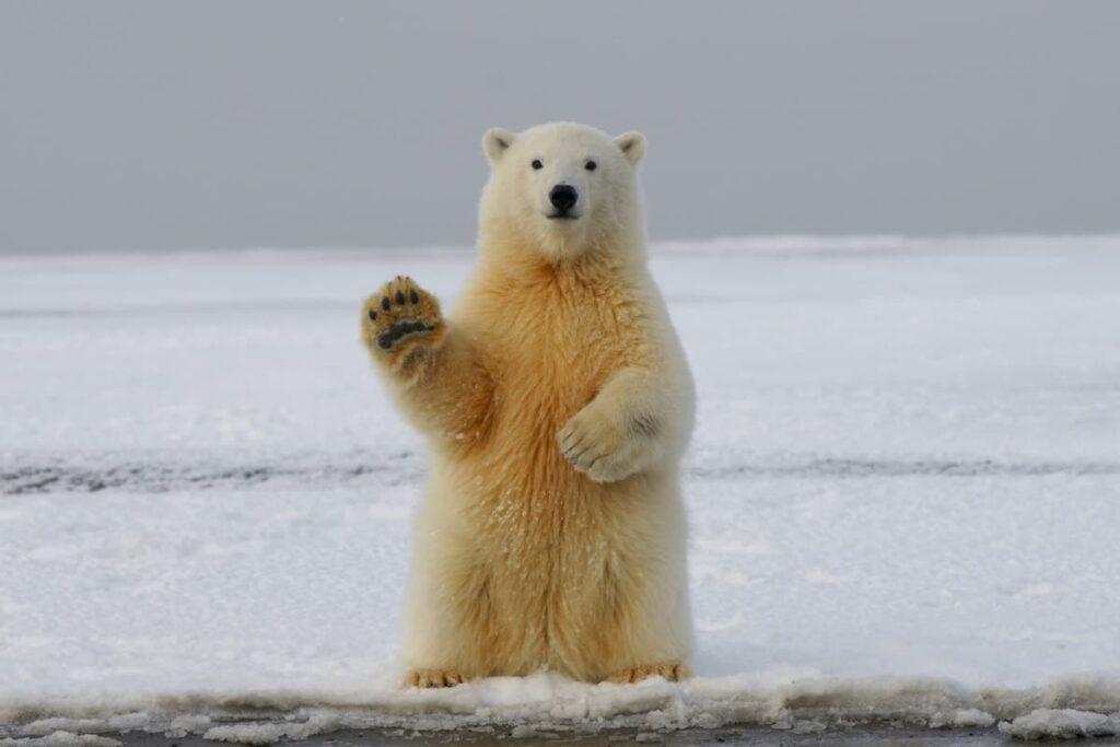 orso artico