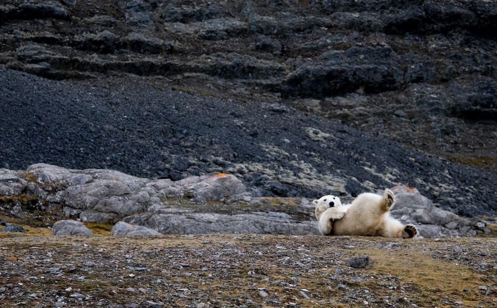 vedere gli orsi polari alle svalbard