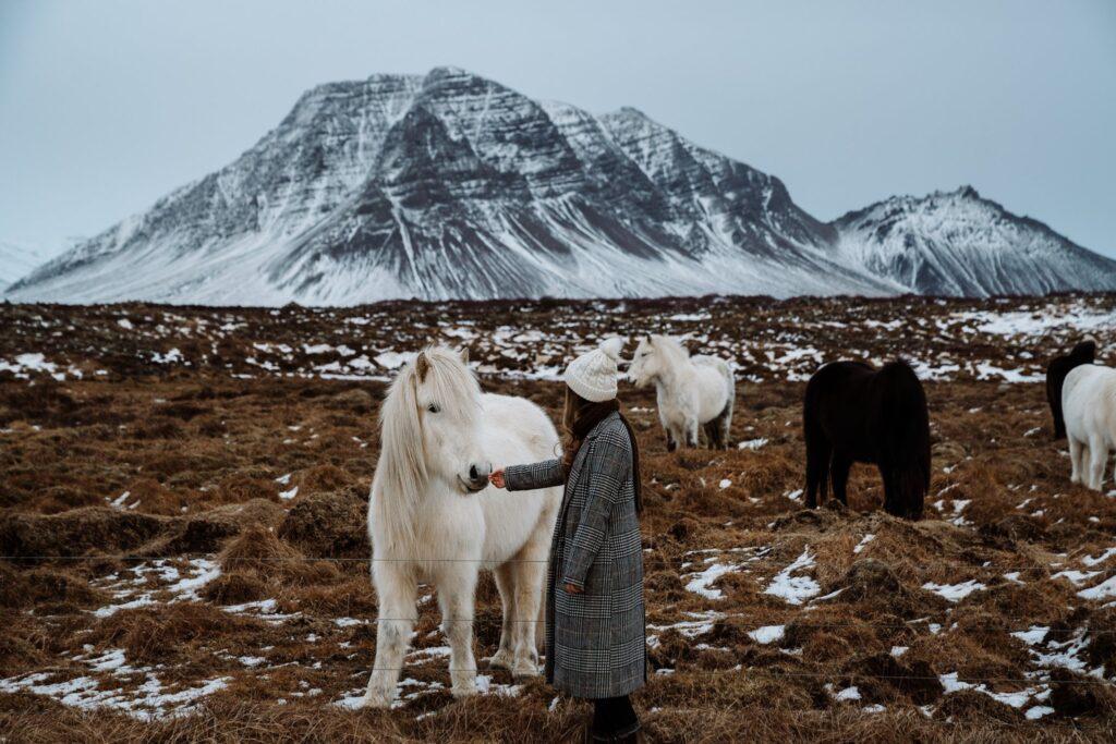 islanda-cavalli